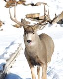 Male Mule Deer licking his nose Royalty Free Stock Image