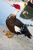 Male muscovy duck. Full body portrait of a male muscovy duck Stock Photography