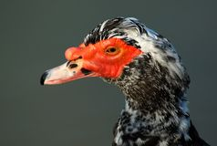 Male muscovy duck Stock Photos