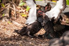 Male muscovy duck Cairina moschat birds in the middle of a dominance fight. During mating season in Florida stock images