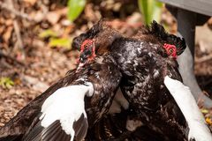 Male muscovy duck Cairina moschat birds in the middle of a dominance fight royalty free stock image