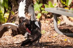 Male muscovy duck Cairina moschat birds in the middle of a dominance fight stock photography