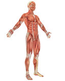 Male Muscular Anatomy Angled Front View Stock Images