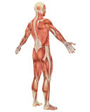 Male Muscular Anatomy Angled Rear View Royalty Free Stock Image
