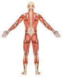 Male Muscular Anatomy Rear View Stock Photo
