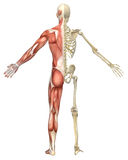 Male Muscular Skeleton Split Rear View Royalty Free Stock Photography