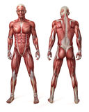 The male muscular system. Medical 3d illustration of the male muscular system royalty free illustration