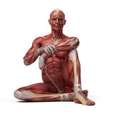 The male muscular system Royalty Free Stock Photos