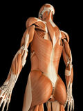 The male muscular system Stock Photography