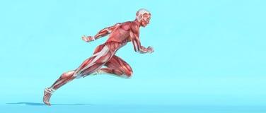 Male muscular system running stock illustration