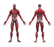 Male Musculature Anatomy Royalty Free Stock Photos