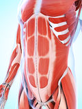 The male musculature. 3d rendered illustration of the male musculature Stock Images