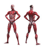 Male Musculature royalty free illustration