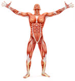 Male musculoskeletal system looking upward. On a white background. Part of a muscle medical series Stock Photos