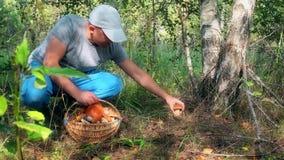 Male mushroom picker picking mushrooms and putting them to full basket stock video