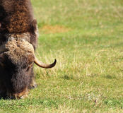 Male musk ox grazing Royalty Free Stock Photography