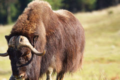 Male musk ox looking Royalty Free Stock Images