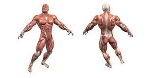 male muskulöst system royaltyfri illustrationer