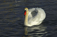 Male mute swan. Cygnus olor, in busking threat display Royalty Free Stock Photo