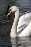 Male mute swan. A male mute swan on a lake stock images