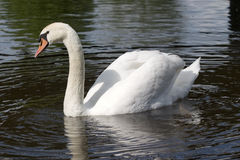 Male mute swan. A male mute swan on a lake stock photography