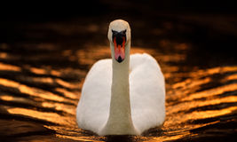 Male Mute Swan on Gold Tinted Water. A portrait of an adult male swan as he faces the camera, floating on dark water that is reflecting a golden orange sunset Royalty Free Stock Images