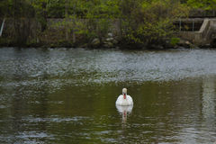 Male Mute Swan Looking at Reflection on Pond Stock Images