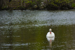 Male Mute Swan Looking at Reflection on Pond. A male mute swan, white with black and orange beak Stock Photo