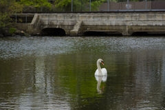 Male Mute Swan Looking Sideways on Pond by Bridge Royalty Free Stock Images