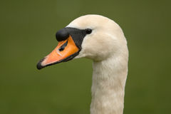 Male mute swan Stock Photos