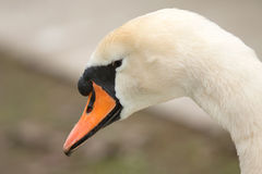 Male mute swan Royalty Free Stock Photos
