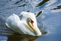 Male Mute Swan. Posing in a threat display Royalty Free Stock Photography