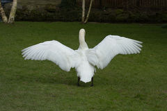 Male Mute swan stretching his wings. Photo of a Male Mute swan stretching his wings Royalty Free Stock Photo
