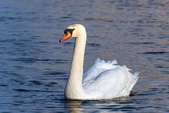 A male mute swan swimming stock photography