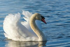 Male Mute Swan Swimming. Wildlife Birds royalty free stock image