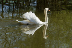 Male Mute swan swimming. Photo of a Mute swan swimming with reflections in the water Royalty Free Stock Photo