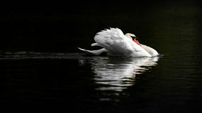 Male Mute Swan in Threat Posture on Dark Water. A beautiful large adult mute swan on dark water adopts a threat posture, cowling his feathers and withdrawing his Royalty Free Stock Photography