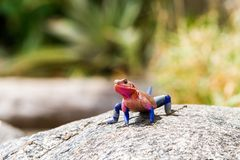 Male Mwanza flat-headed rock agama. Agama mwanzae or the Spider-Man agama in the family Agamidae, with bright red or violet head, neck, and shoulders and dark royalty free stock image