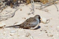 Male Namaqua Dove sat on desert sand Stock Image