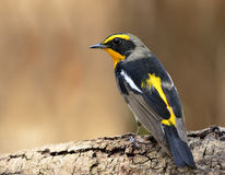 Male of Narcissus Flycatcher (ficedula zanthopygia) the beautifu. L yellow with black and grey color standing on the log showing its back feathers profile Stock Photos