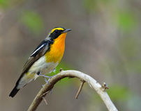 Male of Narcissus Flycatcher (ficedula zanthopygia) the beautifu. L yellow with black and grey feathers perching on the curve stick Stock Photo