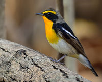 Male of Narcissus Flycatcher (ficedula zanthopygia) the beautifu. L yellow with black and grey feathers perching on log with busy brown background Stock Photos