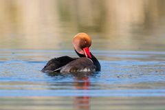 Male red crested pochard Netta rufina grooming in sunlight royalty free stock image