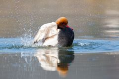 Male red crested pochard Netta rufina grooming in sunlight royalty free stock photos