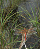 Male Needham's Skimmer Dragonfly. Resting over a brackish marsh in Rose Haven, Maryland USA stock photos