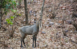 Male neelgai Stock Photography