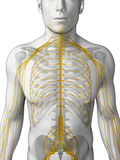 Male nerve system Stock Image