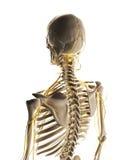 Male nerve system Stock Photo