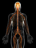 The male nervous system Stock Photo