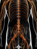 The male nervous system Royalty Free Stock Photo